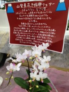 山梨県フェア 胡蝶蘭なごりゆきup