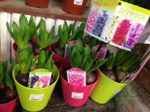 ヒヤシンス鉢花
