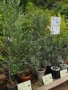 オリーブ庭木1