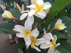 プルメリア白黄色