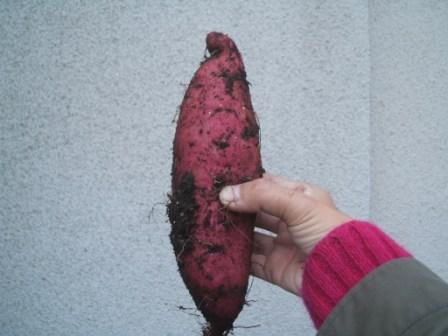 20071215-サツマイモで来た大きいでしょ.JPG