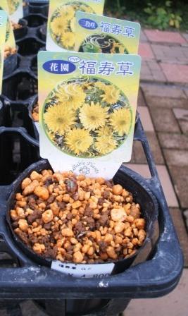 20071228-福寿草三段咲き2.JPG