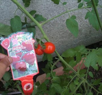 20080803-ミニトマト トマトベリー.JPG