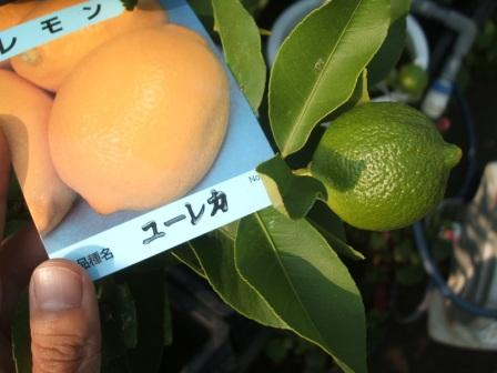 20080913-レモンユーレカ.JPG