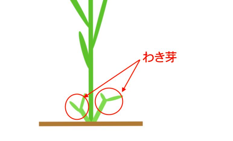 トウモロコシのわき芽