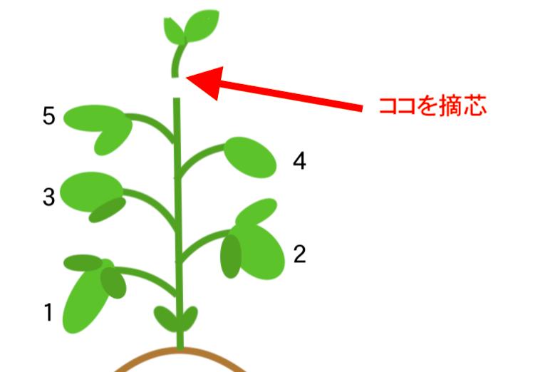 枝豆の摘芯