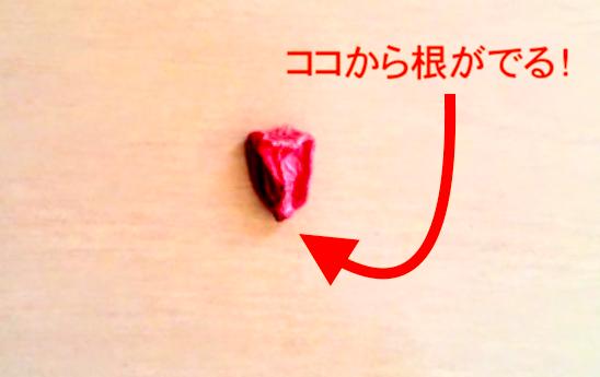 トウモロコシの種